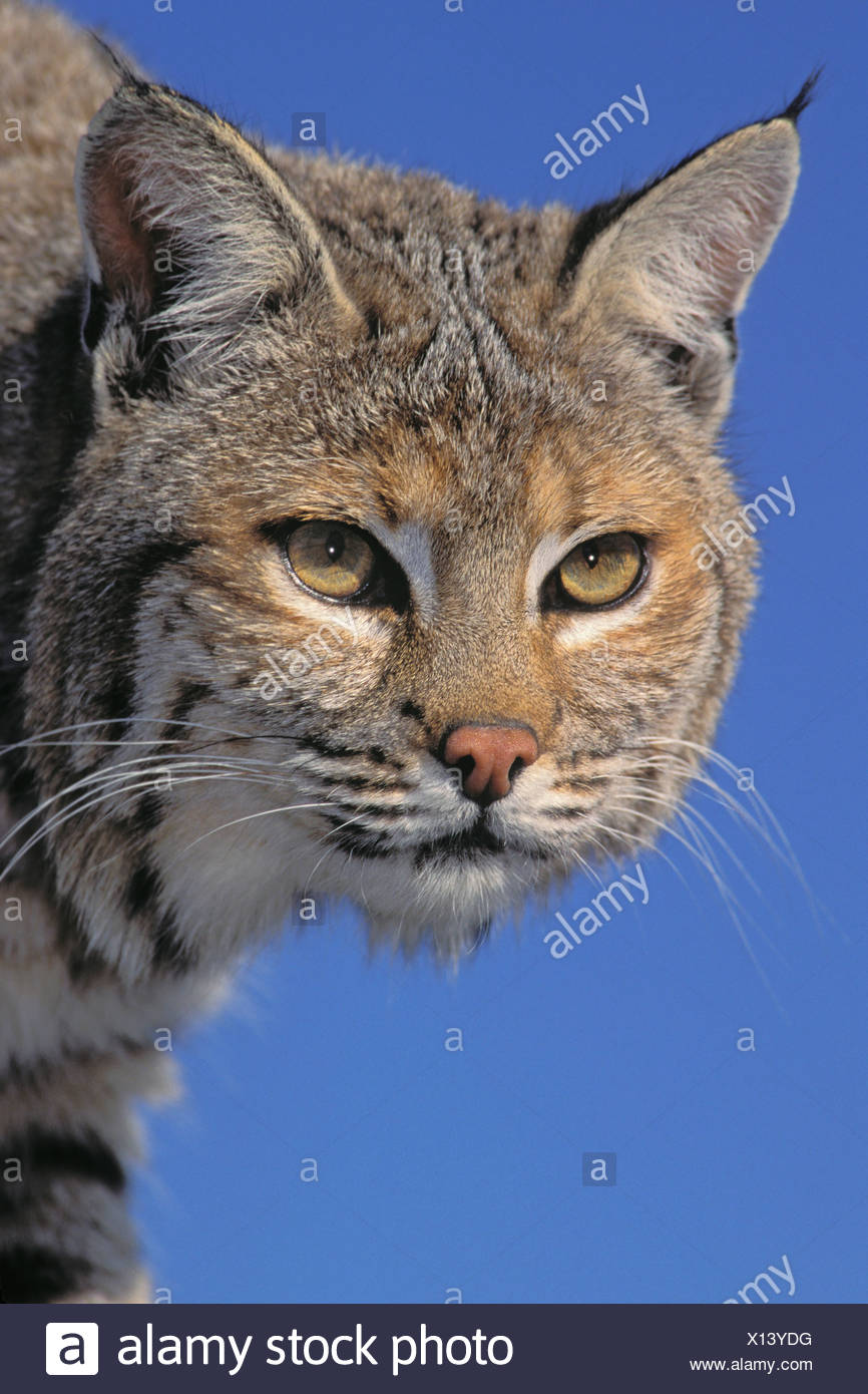 Tk0613, Thomas Kitchin; Bobcat, weiblich. Frühling. Rocky Mountains. Nord-Amerika. Felis Rufus. Stockbild