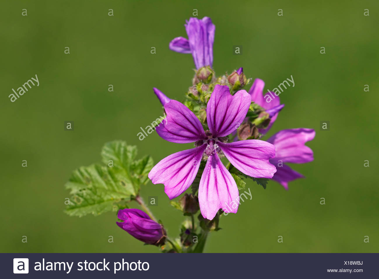 wild malva flowers stockfotos wild malva flowers bilder alamy. Black Bedroom Furniture Sets. Home Design Ideas