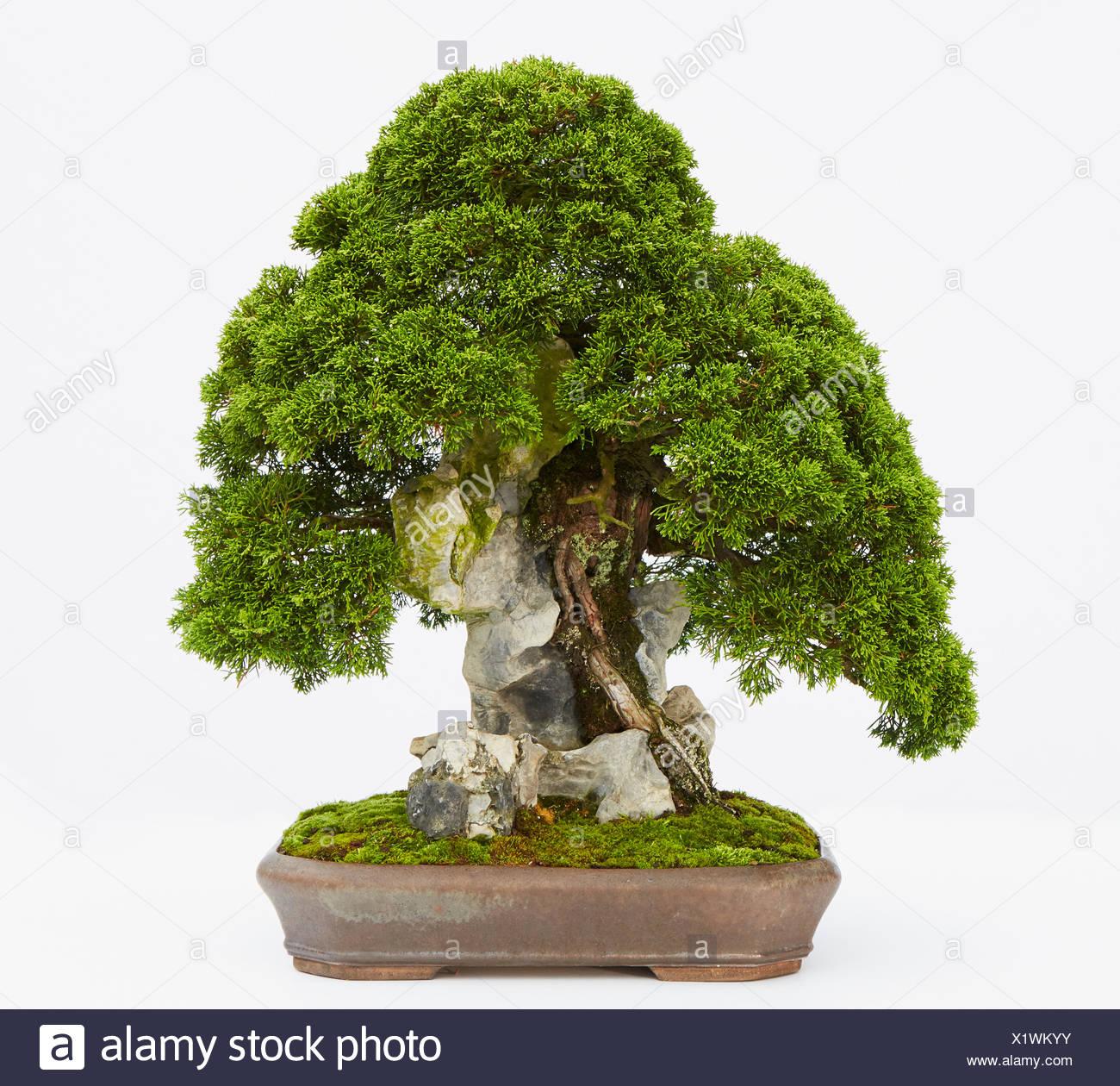 juniperus chinensis stockfotos juniperus chinensis bilder alamy. Black Bedroom Furniture Sets. Home Design Ideas
