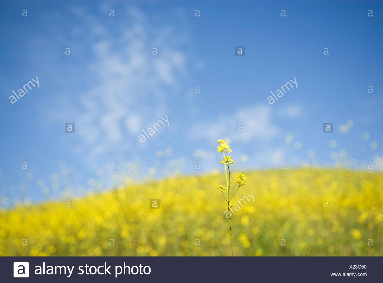 Frühling kann viele Arten von Blumen blühen entlang der kalifornischen Küste in Ventura, Kalifornien. Stockbild