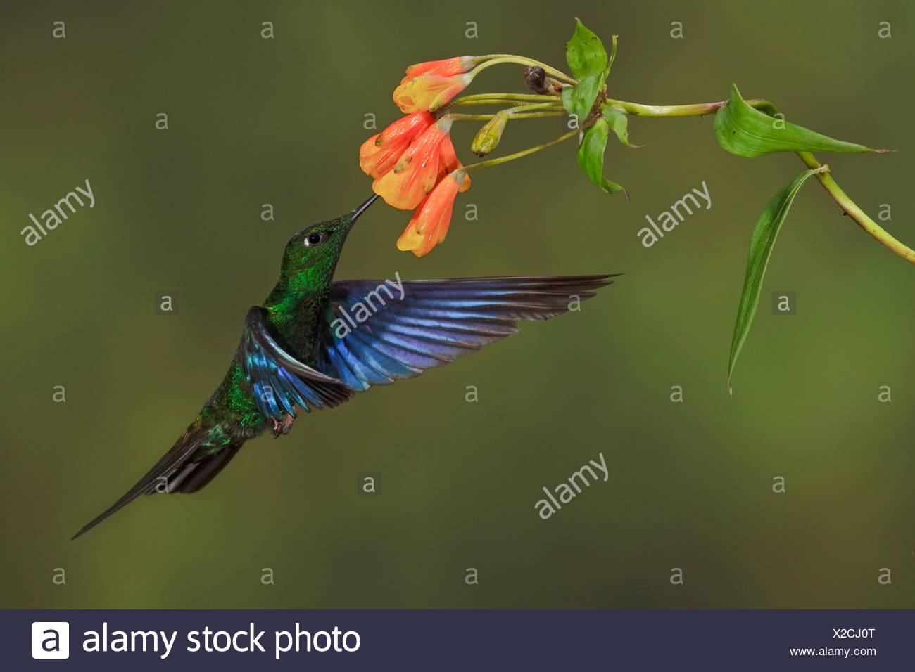 Große Saphirewing (Pterophanes Cyanopterus) fliegen und Fütterung eine Blume an der Yanacocha behalten sich in der Nähe von Quito, Ecuador. Stockbild