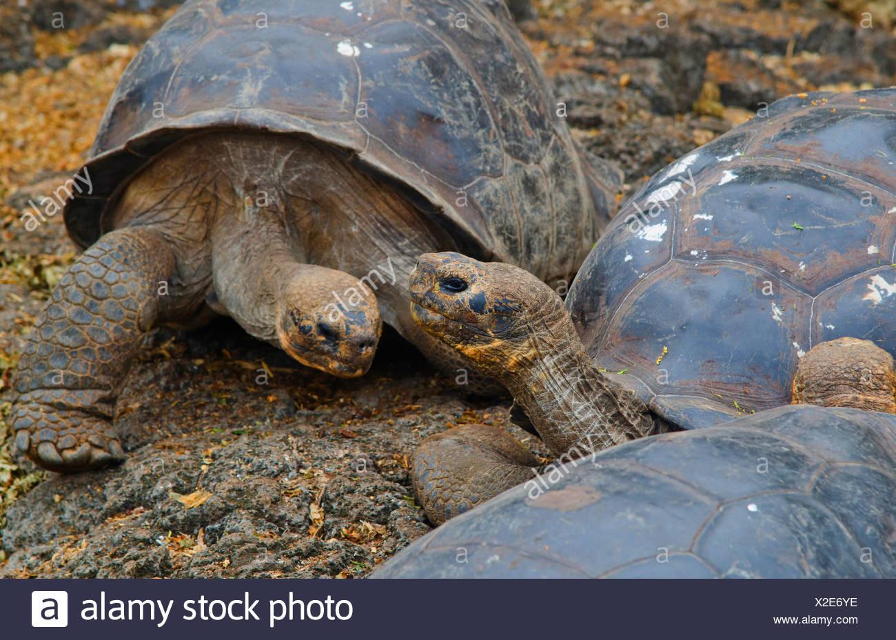 Galapagos-Schildkröte, Galapagos-Riesenschildkröte (Porteri) (Chelonodis Nigra Porteri, Geochelone Elephantopus Porteri, Geochelone Nigra Porteri, Testudo Elephantopus Porteri, Chelonoides Elephantopus Porteri), Galapagos Schildkröten auf einem Felsen, Ecuador, Galapagos-Inseln, Santa Cruz, Santa Cruz Highlands Stockbild