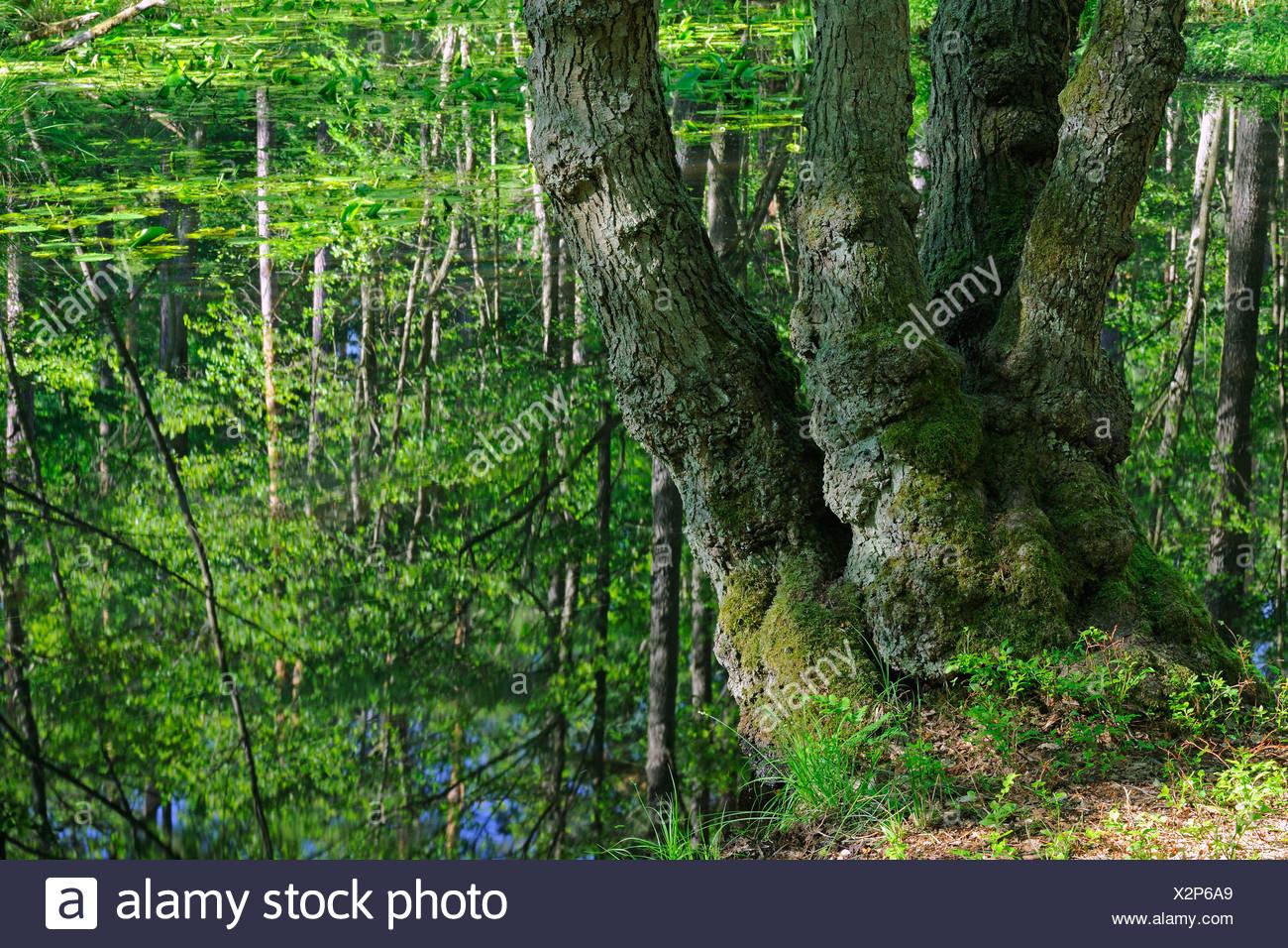 Stamm von einer alte Hainbuche (Carpinus Betulus), in den Marschgebieten der Briese-Tal in der Nähe von Berlin, Deutschland, Europa Stockbild