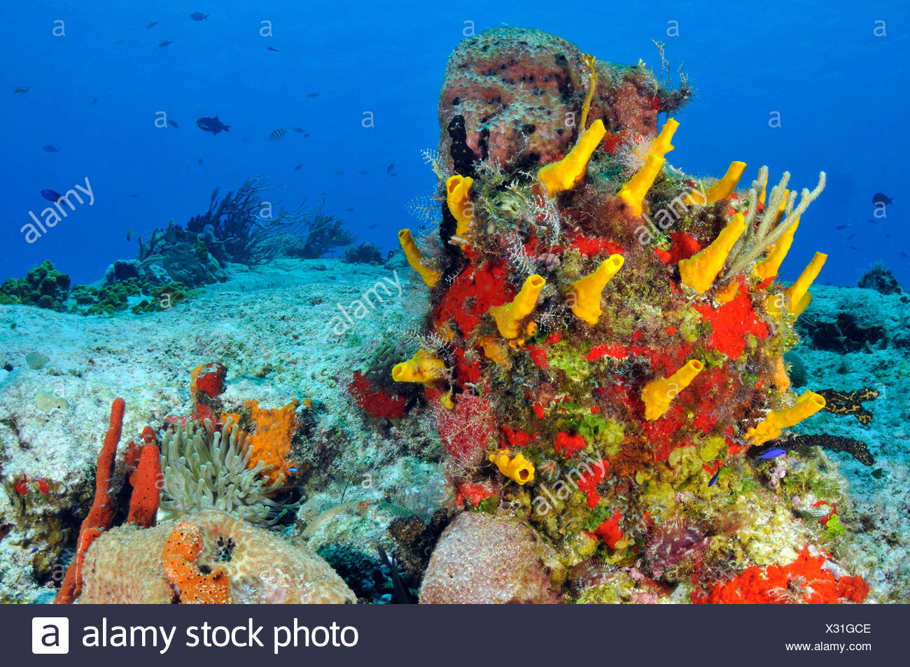 Karibische Korallenriff, Cozumel, Karibik, Mexiko Stockbild