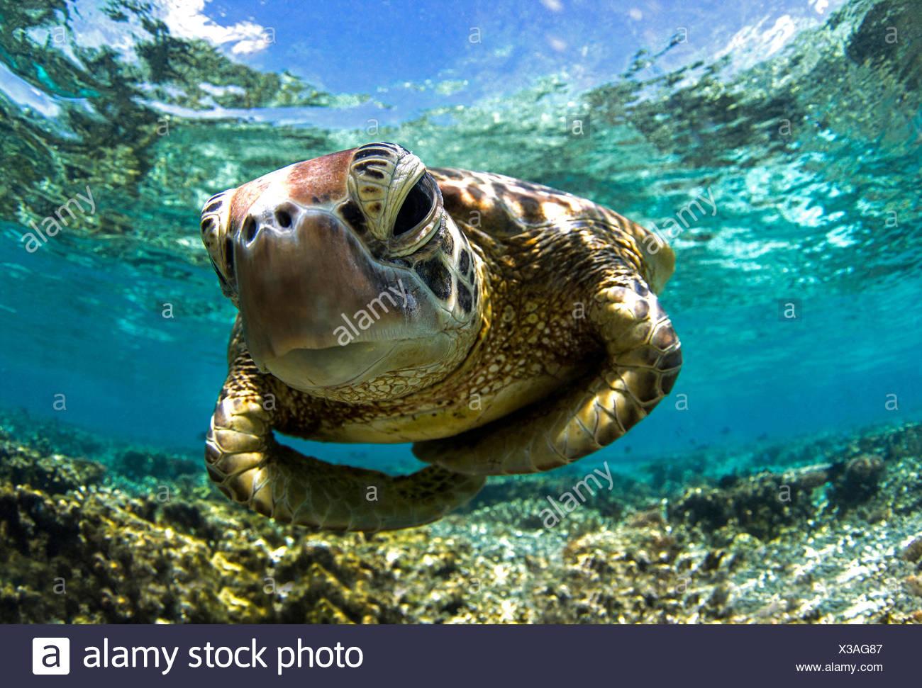 Close-up erschossen Unterwasser einer Schildkröte Schwimmen im Reef, Queensland, Australien Stockbild