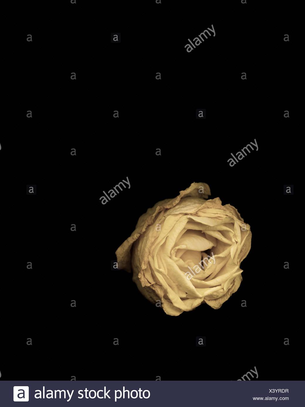 Studioaufnahme von welke rose Stockbild