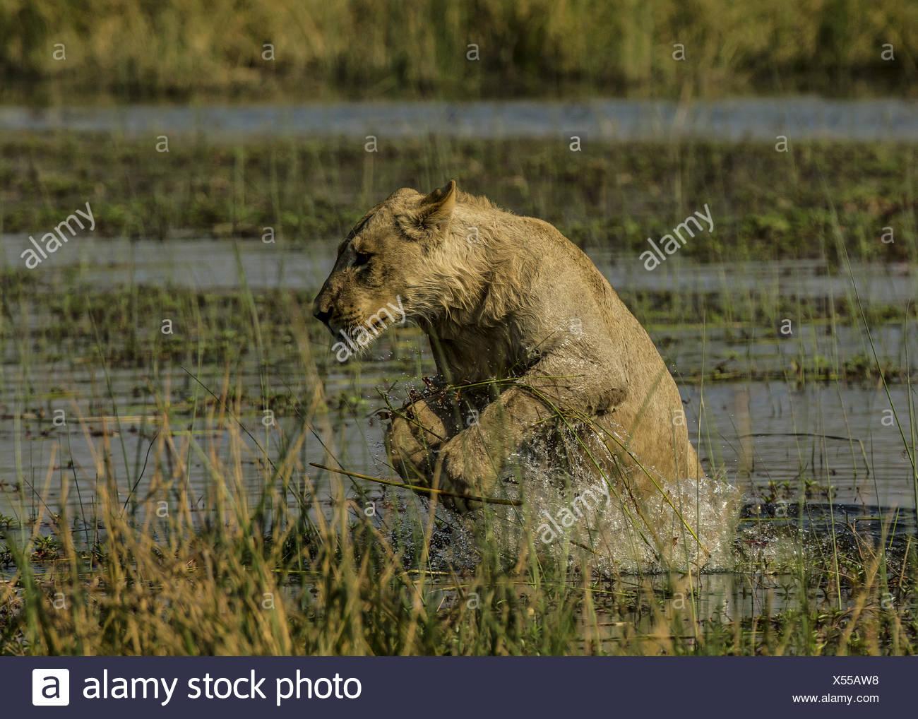 Ein junger Löwe Panthera leo, Sprünge aus dem Wasser an die Hochwasserentlastung Bank. Stockbild