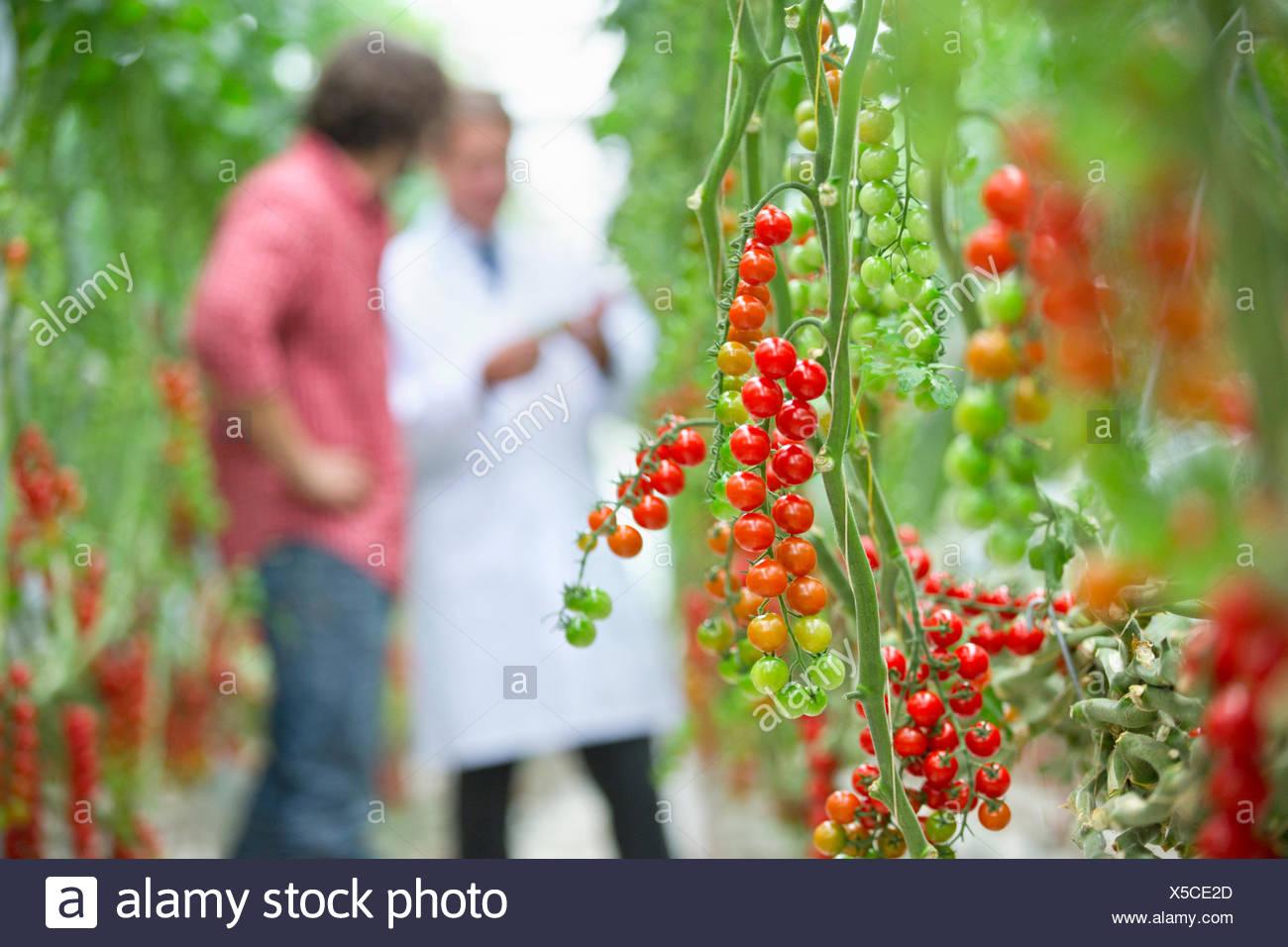 Tomaten Reifen an Rebstöcken Stockbild