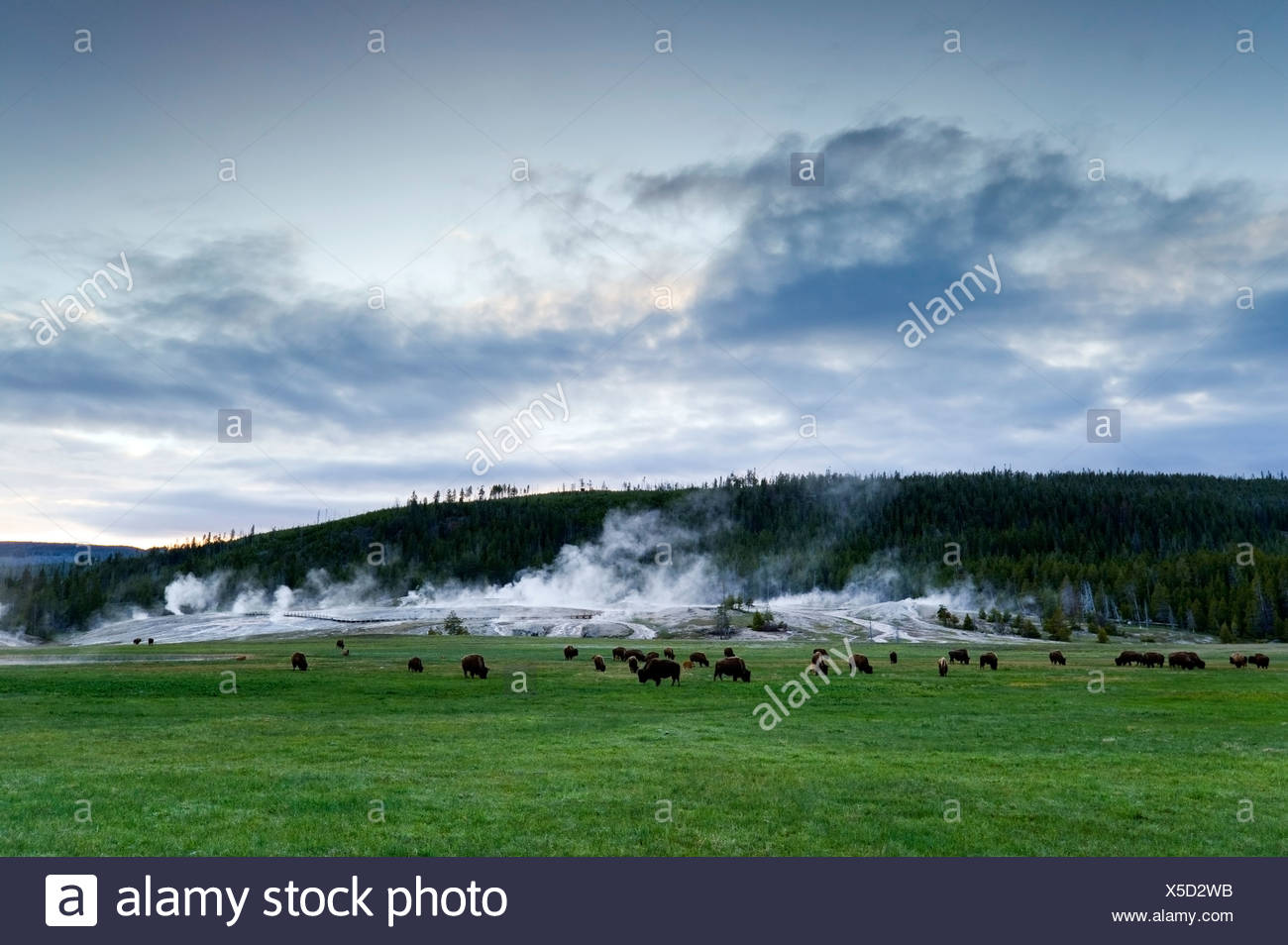 Eine Herde Büffel grasen vor Upper Geyser Basin im Yellowstone-Nationalpark, Wyoming. Stockbild