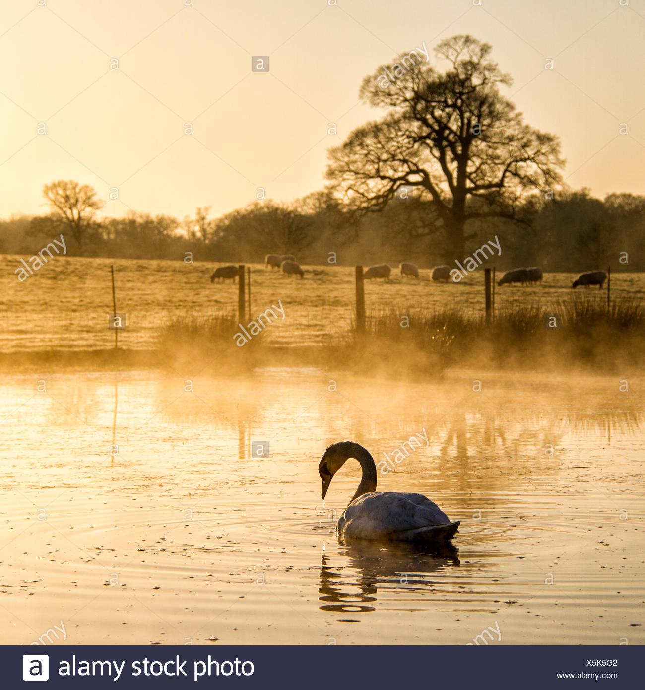 See und Schwan im Vordergrund und Schafe auf der Wiese im Hintergrund Stockbild