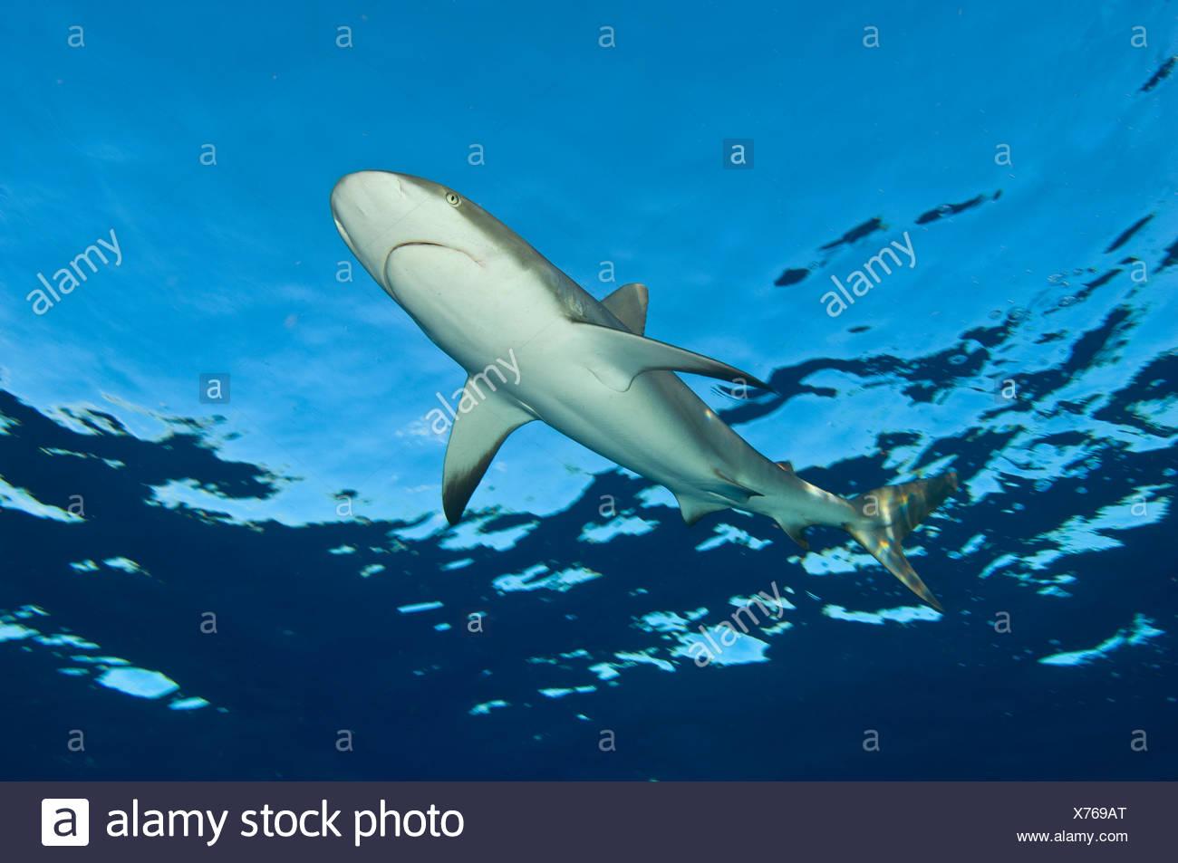 Niedrigen Winkel Bild des karibischen Riffhai (Carcharhinus Perezi) an der Oberfläche. Grand Bahama, Bahamas. Tropischen West-Atlantik. Stockbild