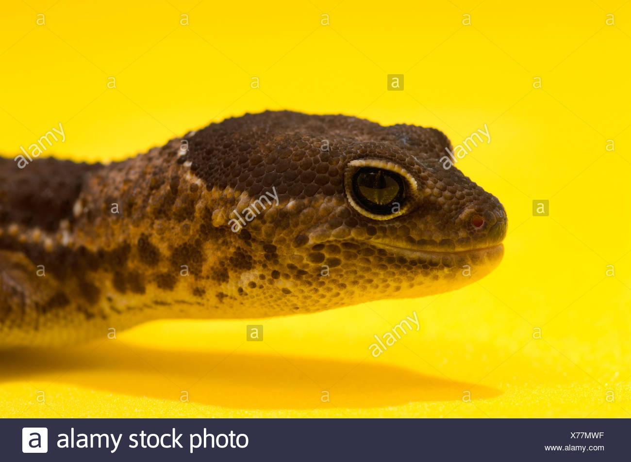 Nahaufnahme eines afrikanischen Fett-Tailed Gecko auf gelb Stockbild