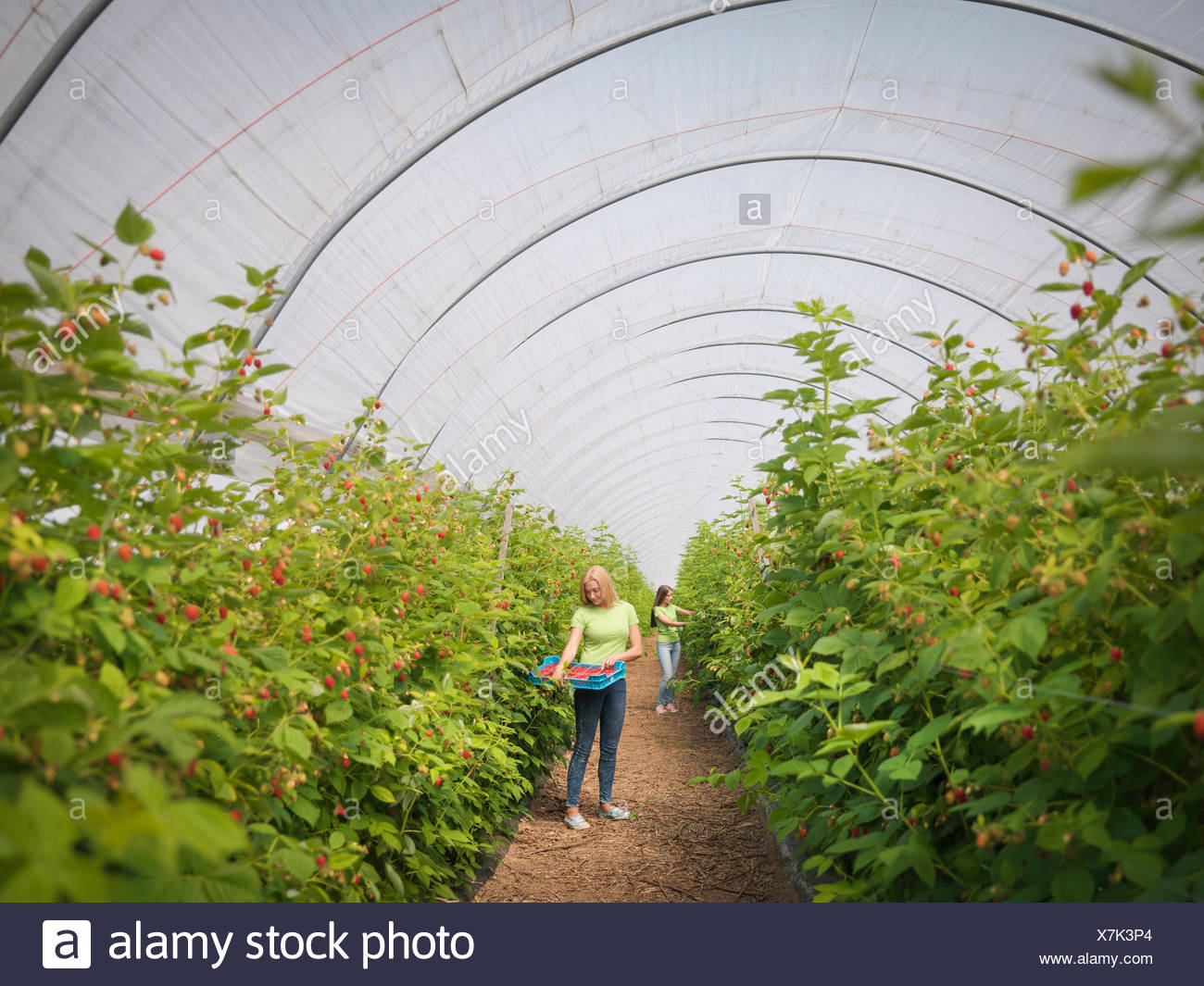 Arbeiter pflücken Himbeeren im Obsthof Stockbild