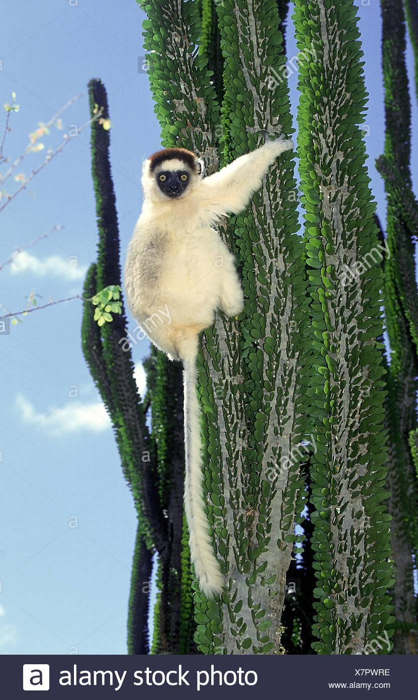 VERREAUX SIFAKA Propithecus Verreauxi, Erwachsene auf Madagaskar OCOTILLO Alluaudia Procera, BERENTY RESERVE IN Madagaskar Stockbild