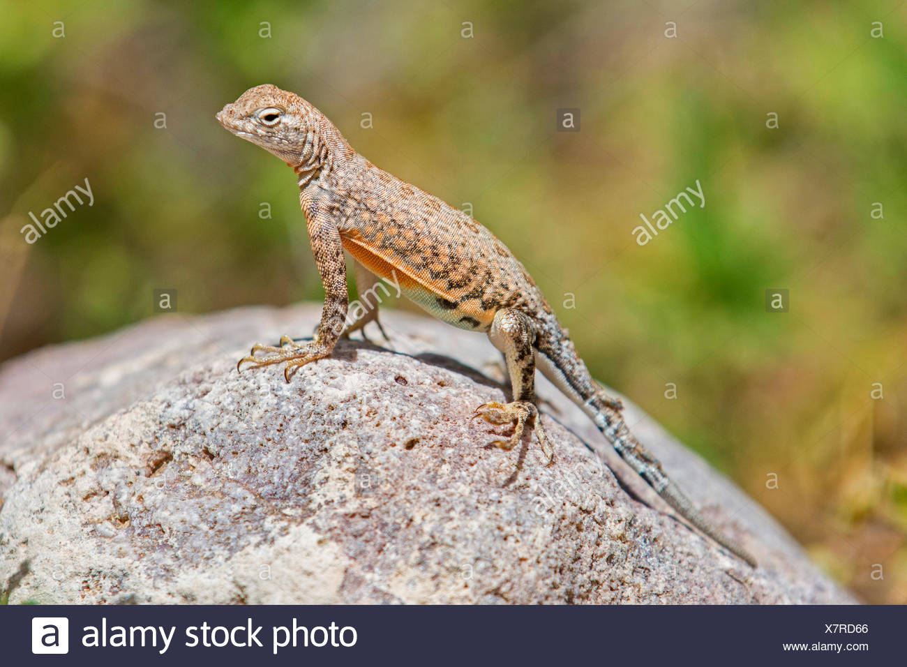 Größere Earless Lizard (vgl. Cophosaurus Texanus), steht auf einem Felsen, USA, Arizona Stockbild
