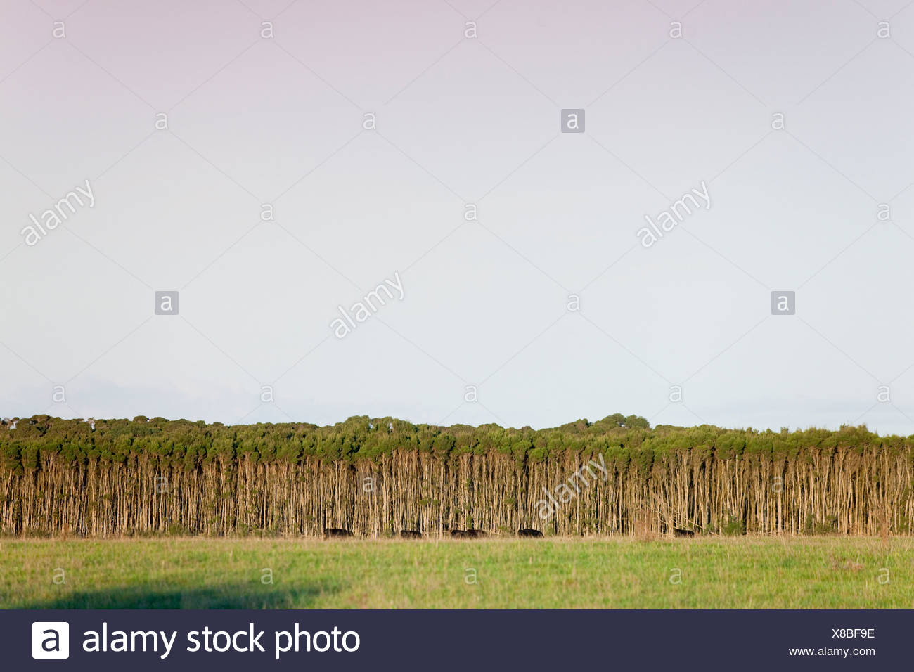 Teebaumöl bei Cape Wickham auf King Island, Ausytalia. Stockbild