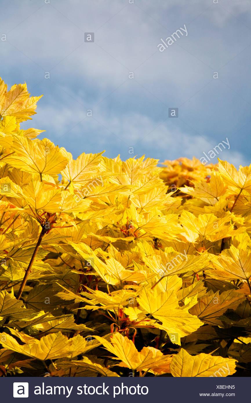 Gelbe Ahornblätter Stockbild