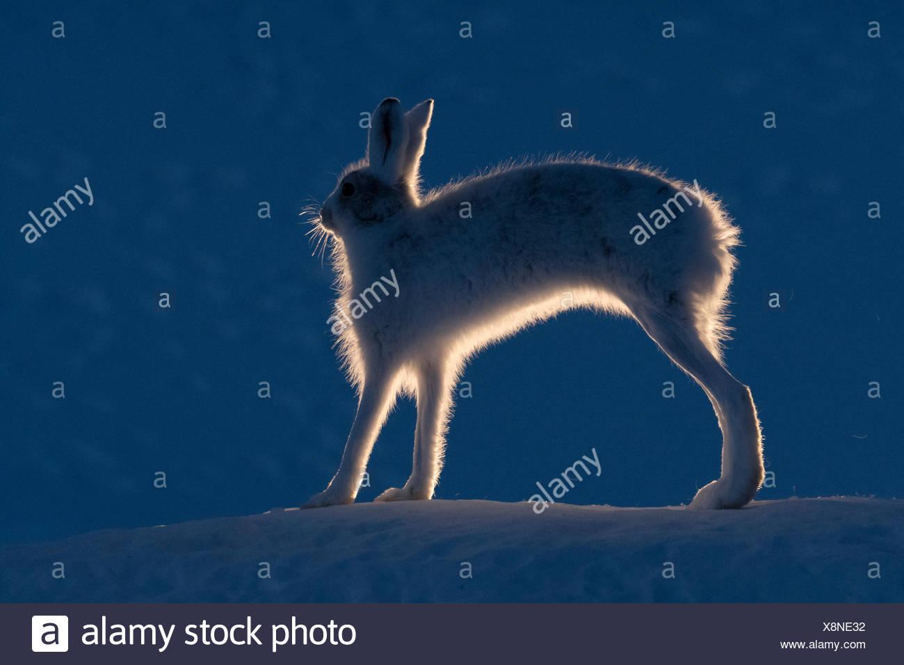 Berg hase Lepus timidus, Stretching, seine Beine. Stockbild