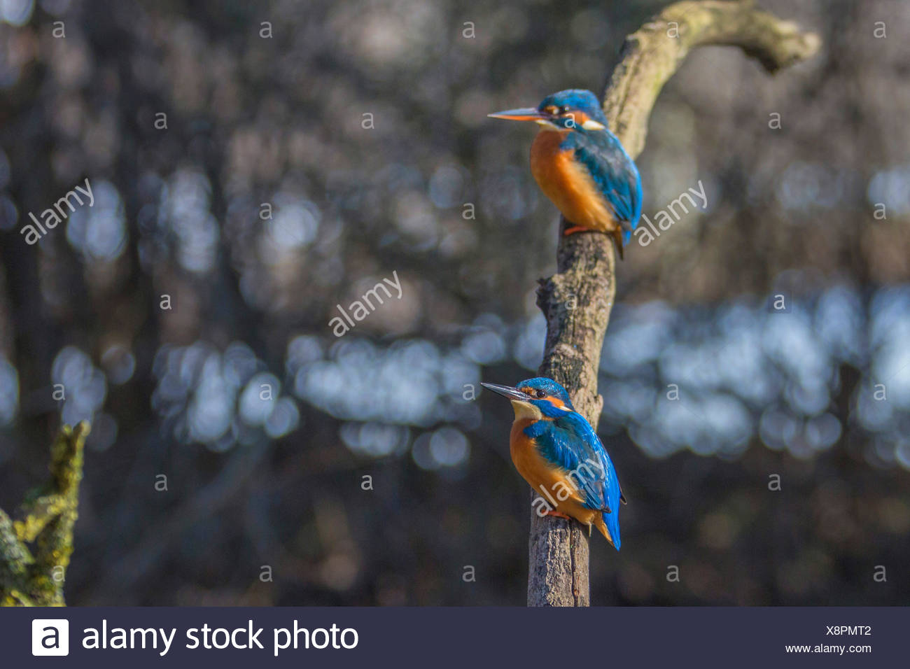 Fluss-Eisvogel (Alcedo Atthis), männliche und weibliche auf ihre Outlook, Deutschland, Bayern Stockbild