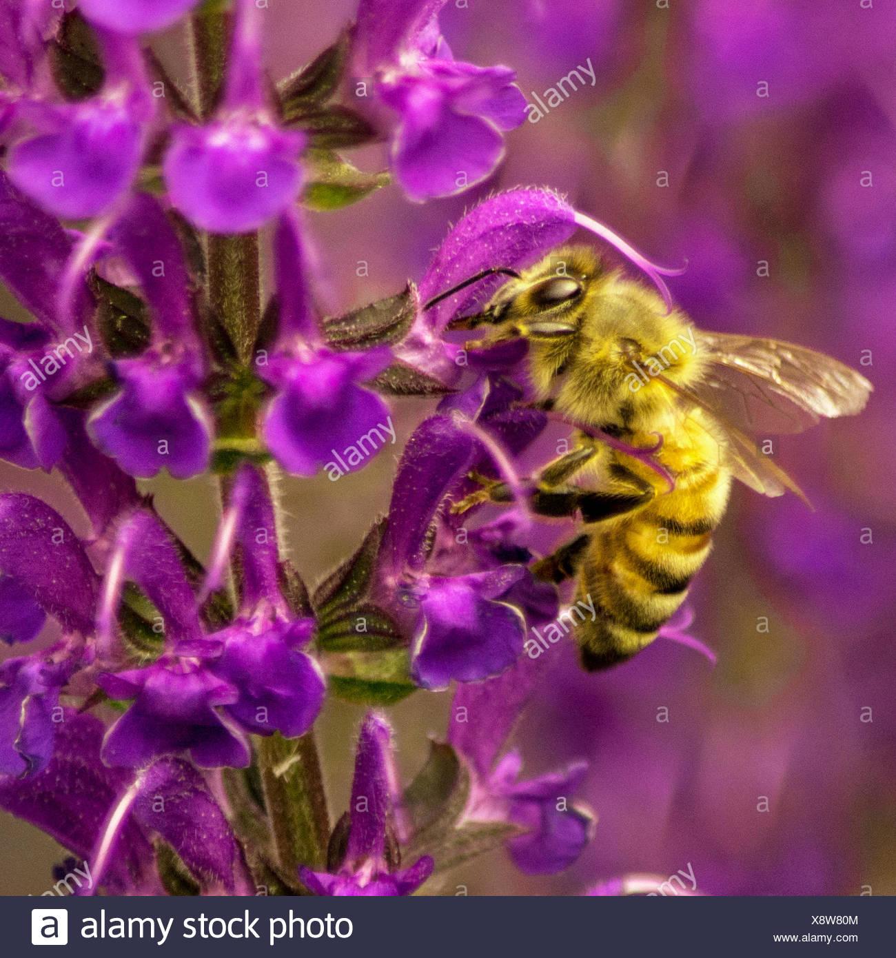 USA, Colorado, Biene in Mitternacht Salvie Stockbild
