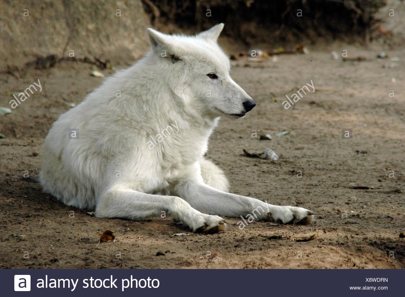 Graue Wölfe oder Timber Wolf (Canis Lupus), Zoo Berlin, Berlin, Deutschland, Europa Stockbild
