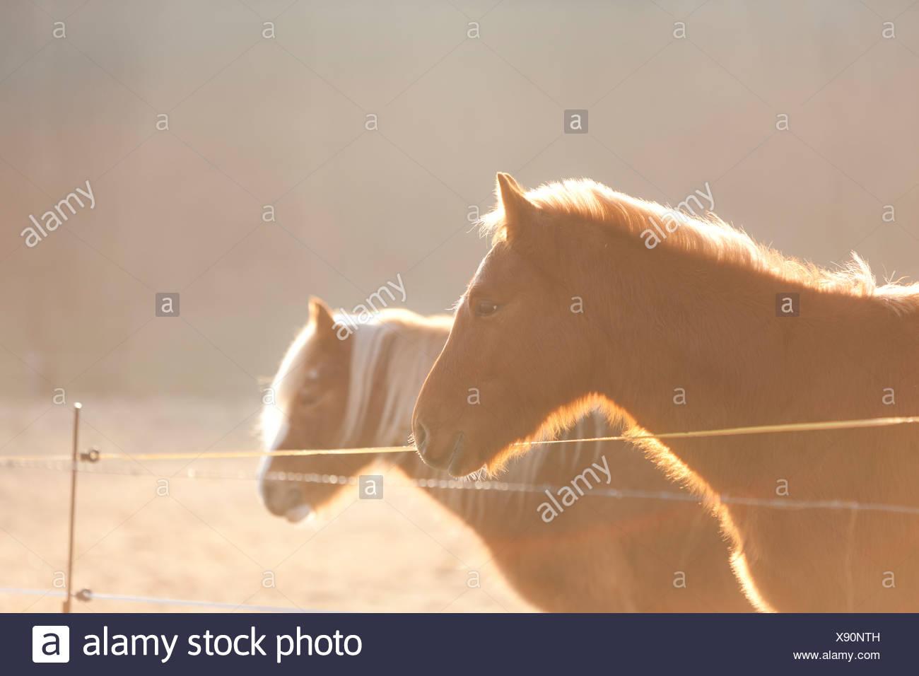 Deutschland, Hessen, Pferde auf der Weide im Morgenlicht Stockbild