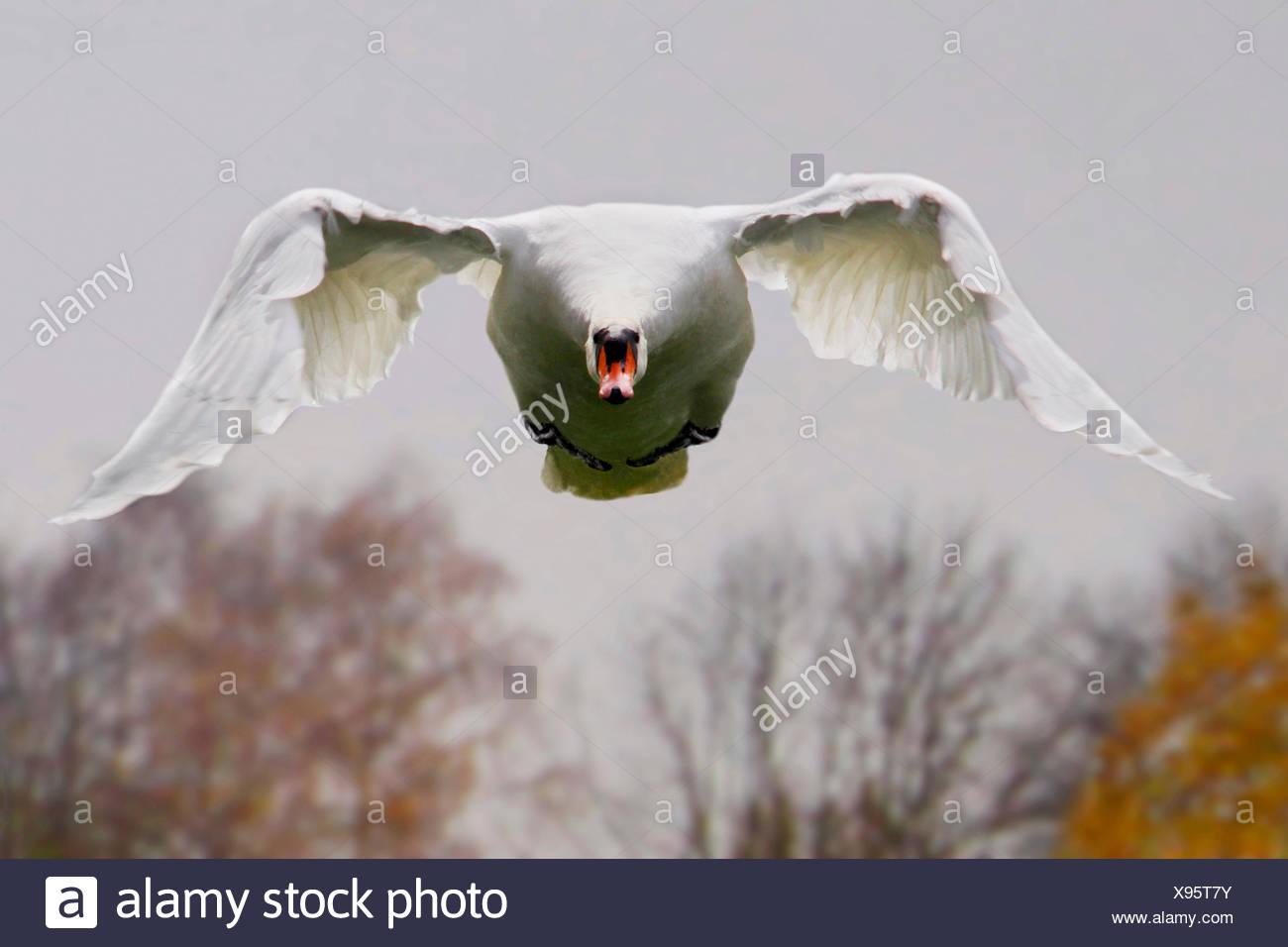 Höckerschwan (Cygnus Olor), im Flug Vorderansicht, Deutschland Stockbild