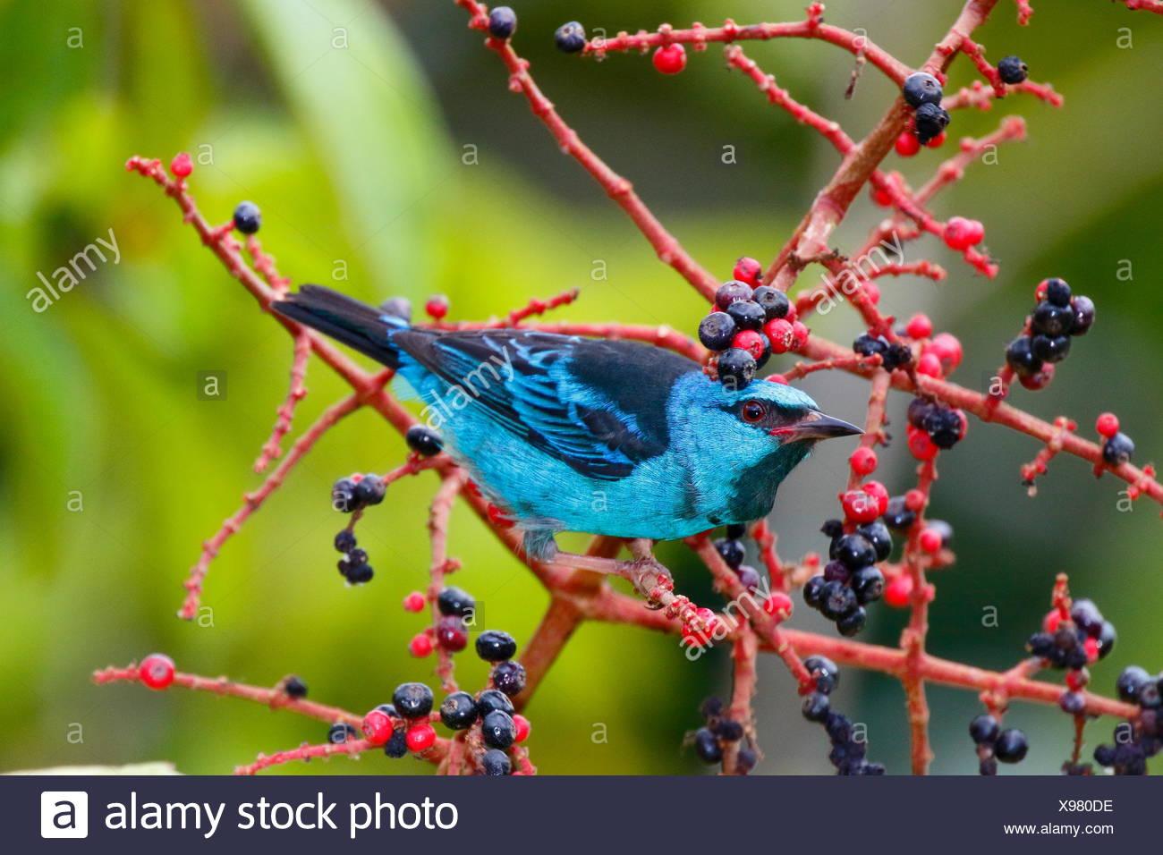 Eine blau oder türkis, dacnis honeycreeper dacnis cayana, Nahrungssuche auf melastome Obst. Stockbild