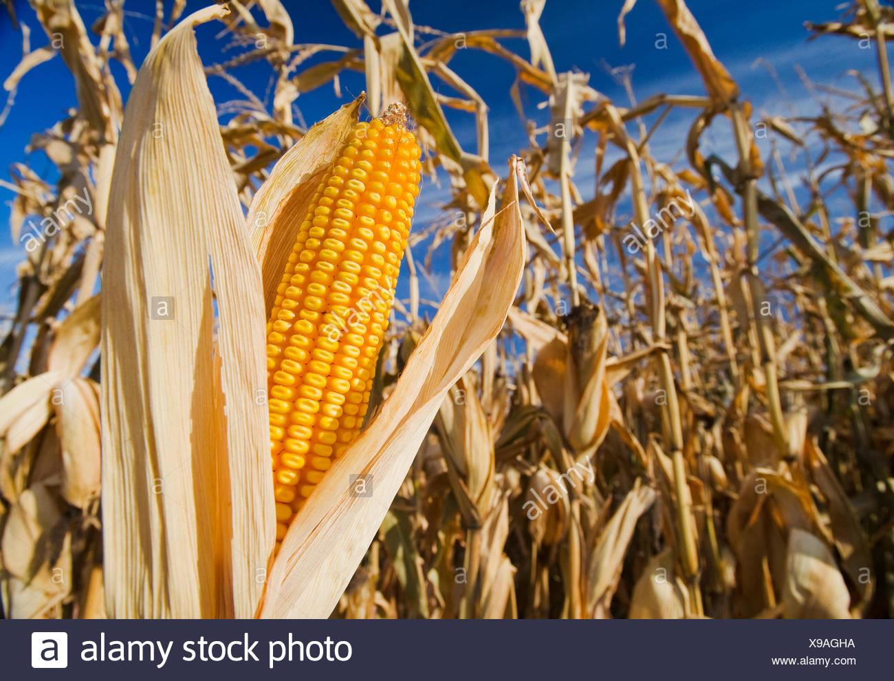 Nahaufnahme der Futtermittel/Getreide Mais,, in der Nähe von Carey, Manitoba, Kanada Stockbild