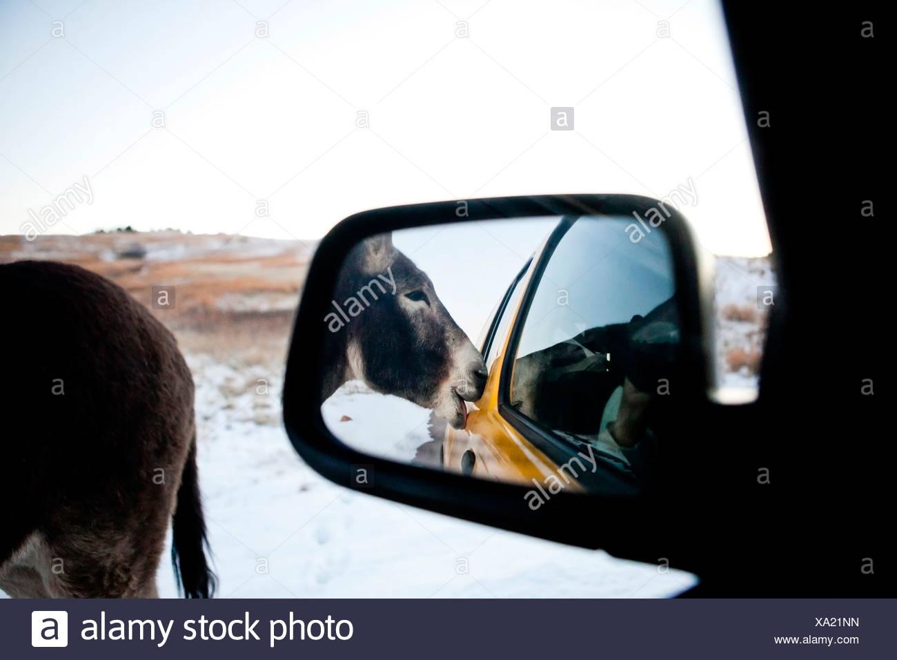 Ein wilder Esel bittet um Köstlichkeiten aus unserem Fahrzeug-Fenster während der Fahrt die Wildlife Loop Road, Custer State Park, South Dakota. Stockbild