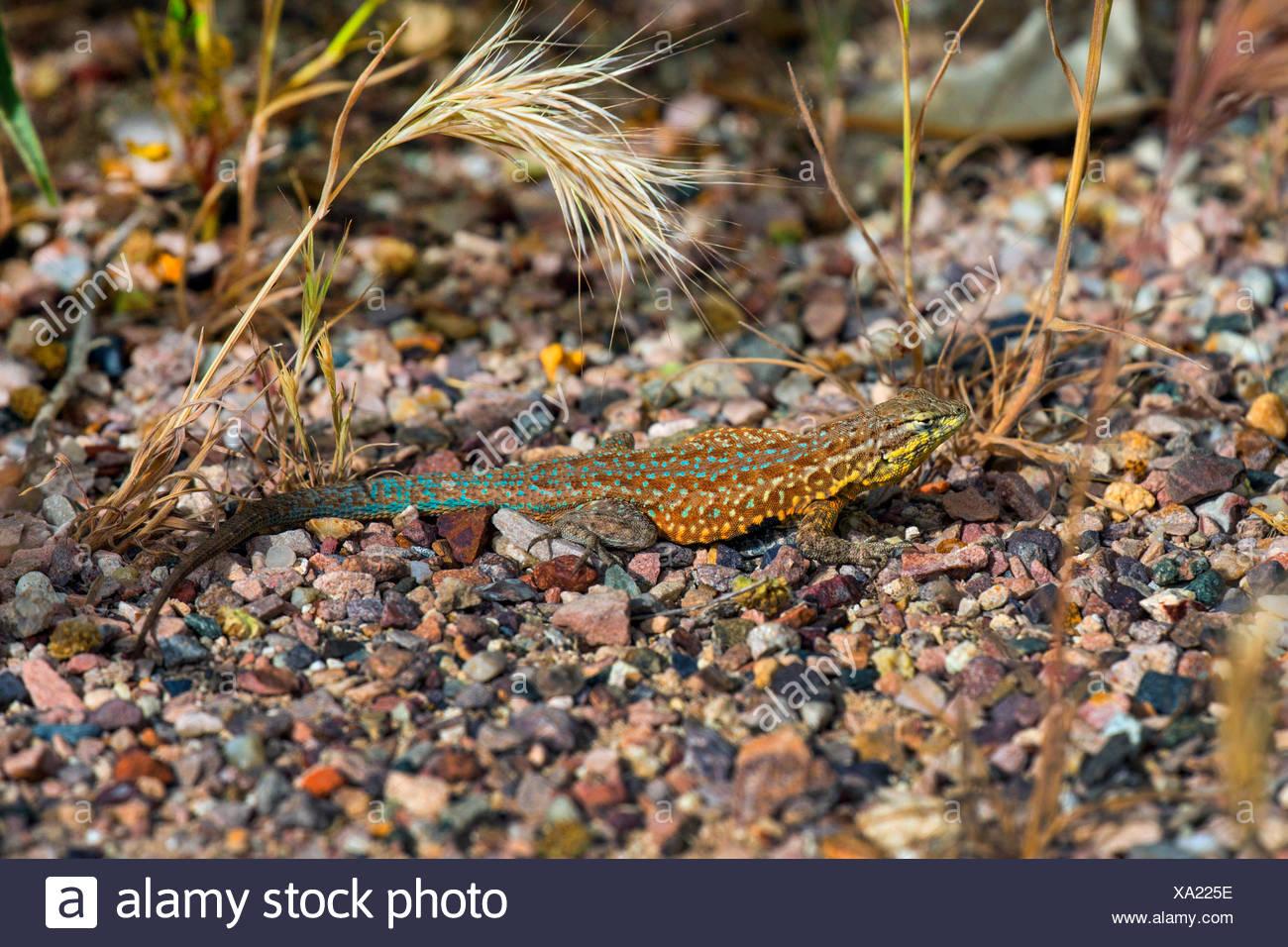 Wüsten-Beifuß-Eidechse (Sceloporus Graciosus), Männlich, Sonnenbaden, USA, Arizona, Boyce Thompson Arboretum Stockbild