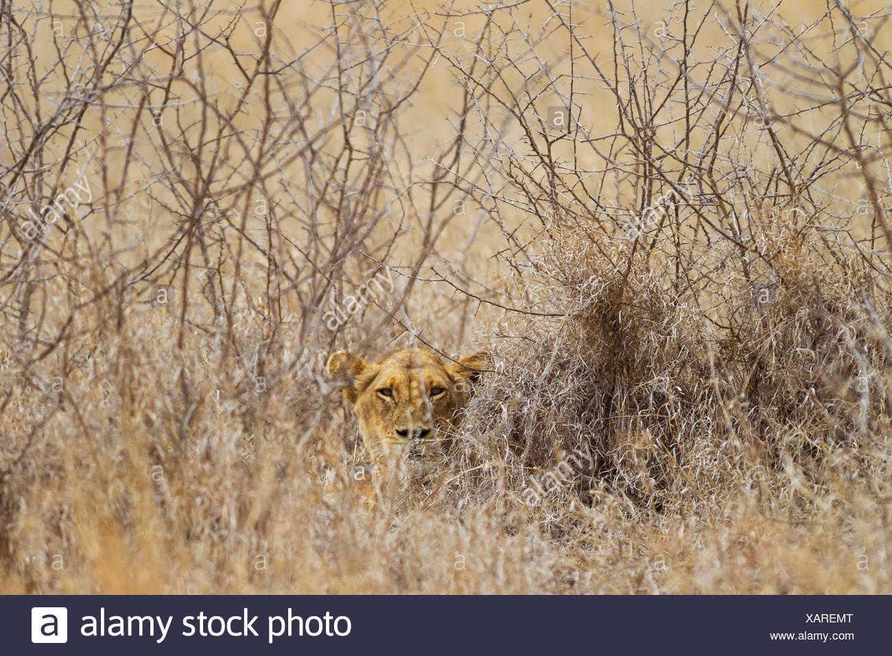 Löwin (Panthera Leo), verborgen, beobachtet ihre Umgebung, Krüger Nationalpark, Südafrika Stockbild