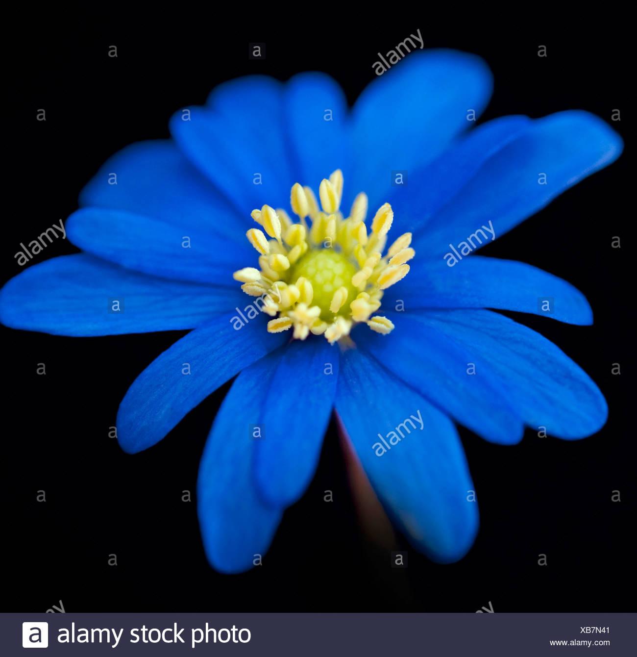 Anemone, einzelne blaue Blume vor einem schwarzen Hintergrund. Stockbild