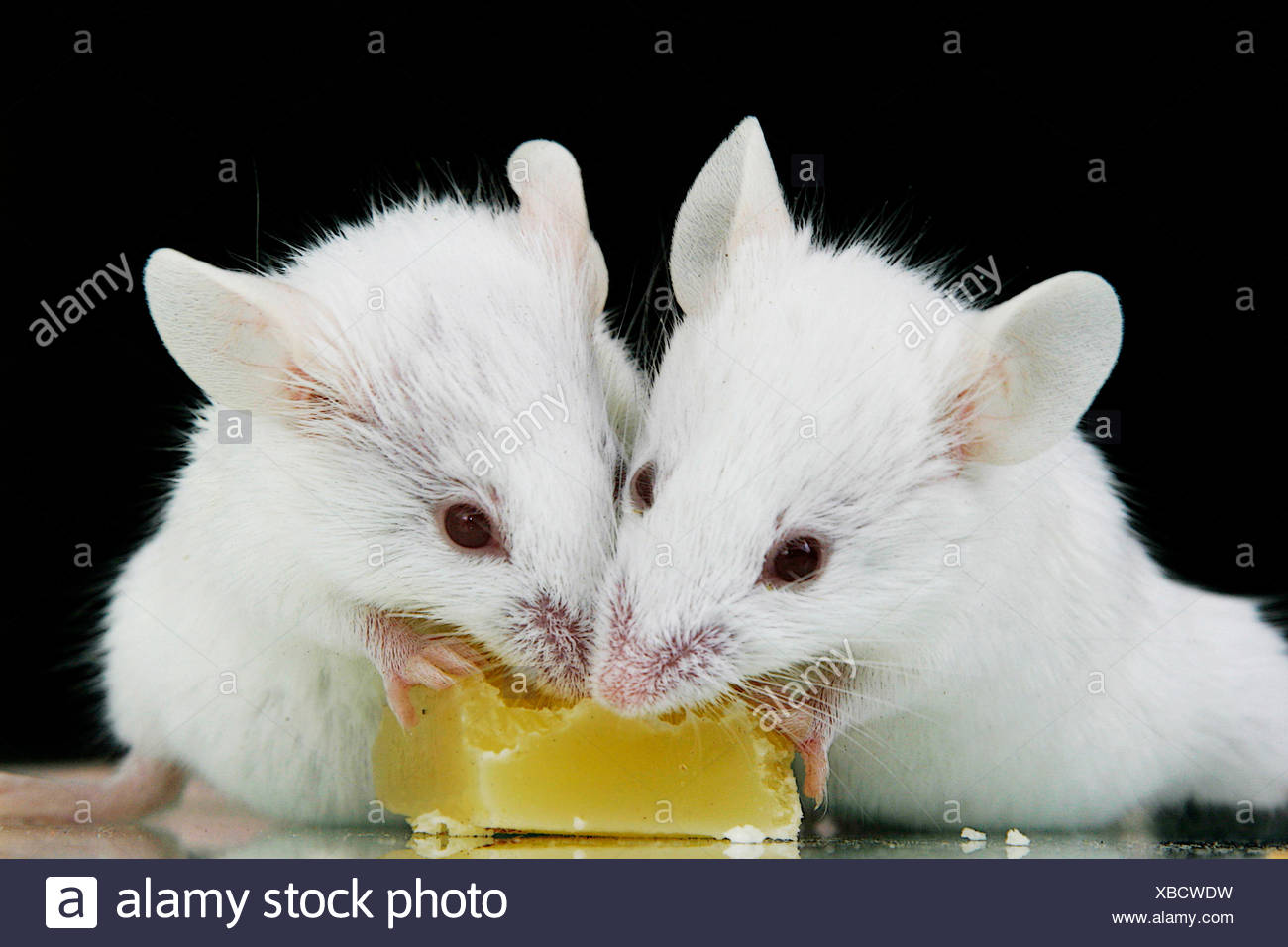 little rodents stockfotos little rodents bilder alamy. Black Bedroom Furniture Sets. Home Design Ideas