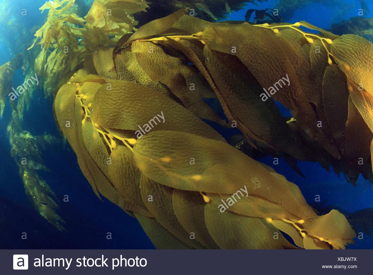 Giant Kelp Kelpforest Macrocystis Pyrifera Santa Catalina Island Kanalinseln Pacific Kalifornien USA Stockbild
