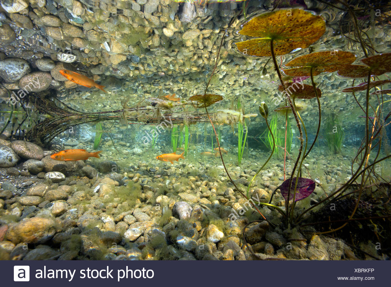 Pond fish rock stockfotos pond fish rock bilder alamy for Goldfische im gartenteich