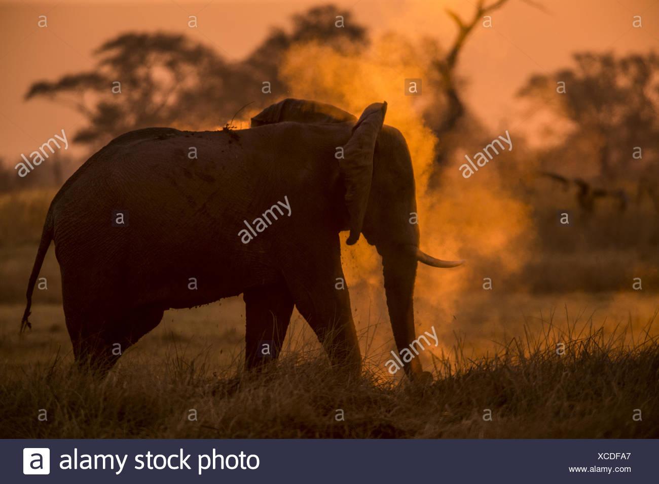 Ein Elefant, loxodonta Africana, Abstauben, wie die Sonne. Stockbild