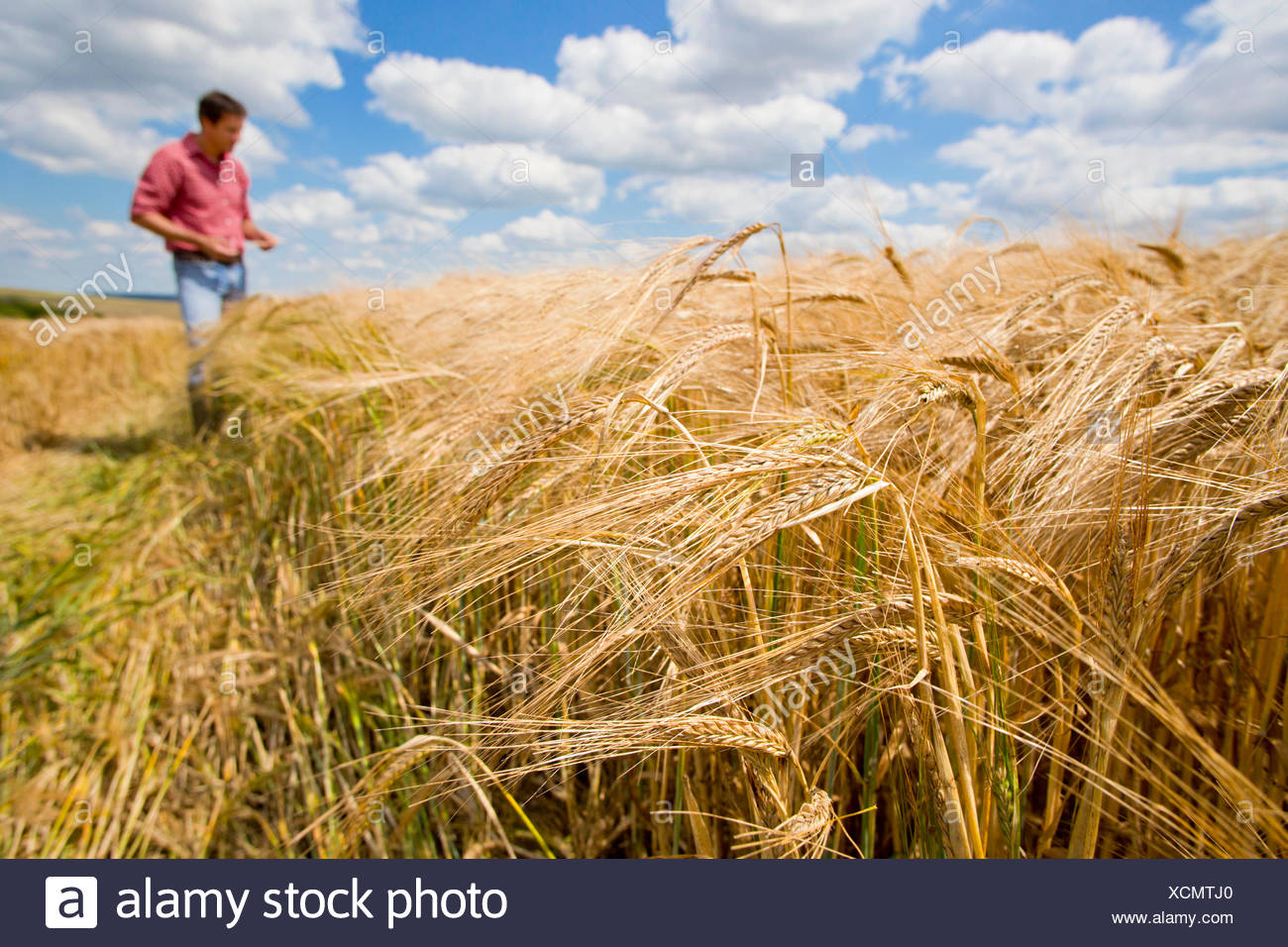 Sonnigen ländlichen Ernte Gerstenfeld im Sommer mit Bauer im Hintergrund Stockbild