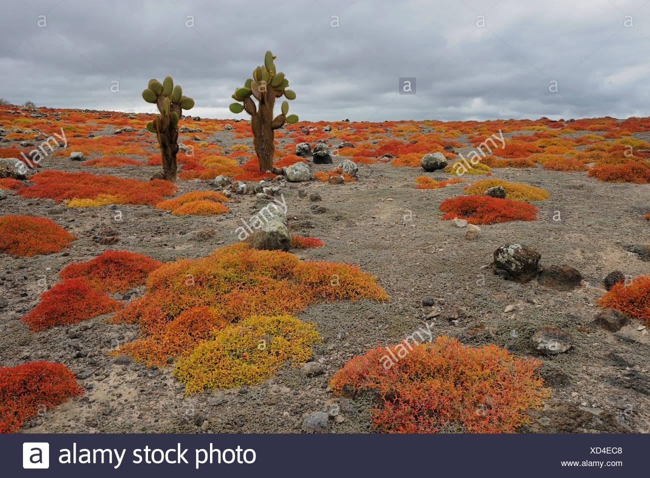 Opuntien (Opuntia Echios) wächst aus einem Teppich aus Galapagos Sesuvium, Plaza Sur Insel, Galapagos-Inseln, Ecuador, bin Süd Stockbild