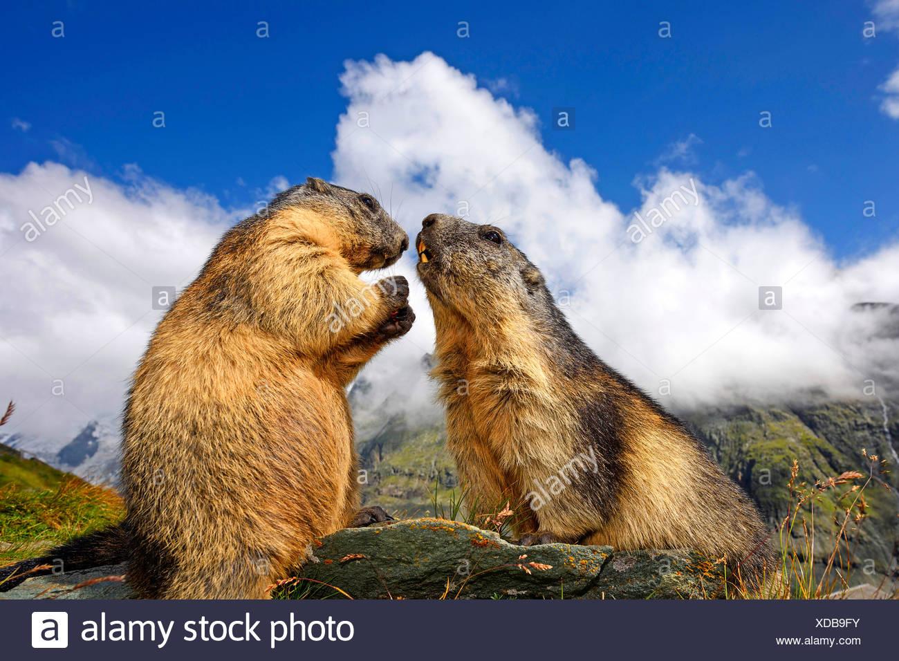 Alpenmurmeltier, Alpen-Murmeltier (Marmota Marmota), Zwei Murmeltiere Begruessen Einander, Italienisch | Alpen-Murmeltier (Marmota marm Stockbild