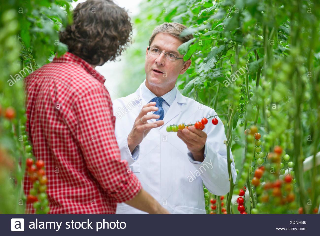 Ernährungswissenschaftler und Züchter, die Prüfung an Rebstöcken reife Tomaten Stockbild