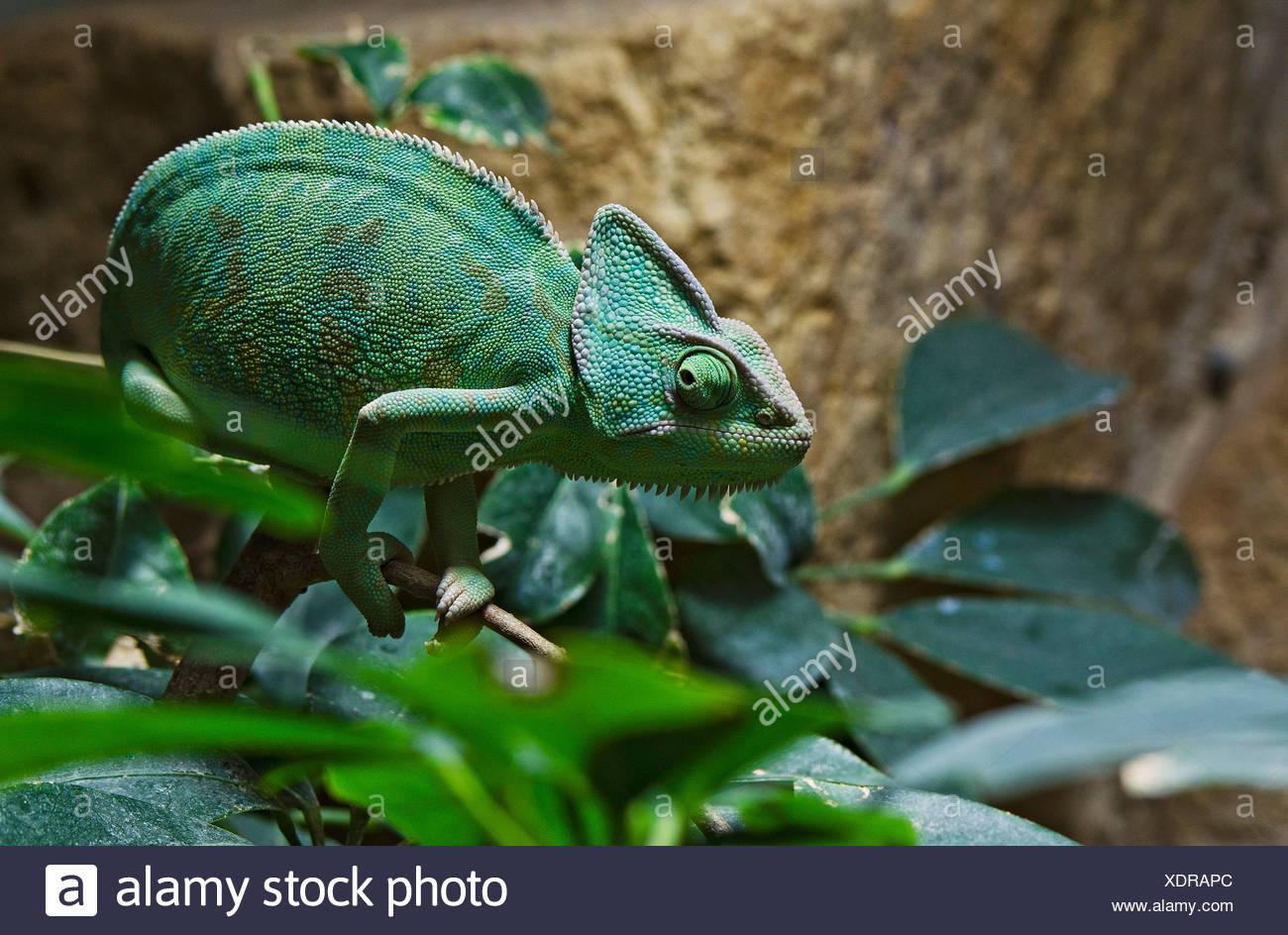 Jemen Chamäleon oder verhülltes Chamäleon (Chamaeleo Calyptratus), Zoologischen Garten Berlin Zoo, Berlin Stockbild
