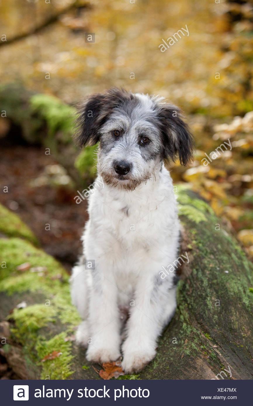 Mischlingshund (Canis Lupus Familiaris), Grunewald, Berlin Stockbild