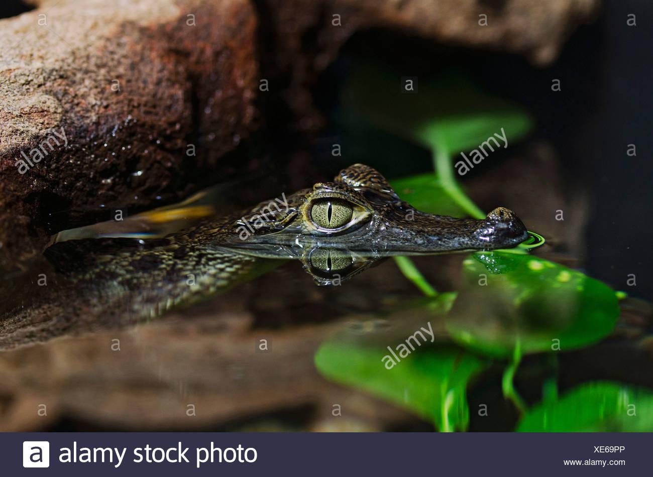Young Spectacled Caiman, weiße Kaiman oder gemeinsame Kaiman (Caiman Crocodilus), Zoologischen Garten Berlin Zoo, Berlin Stockbild