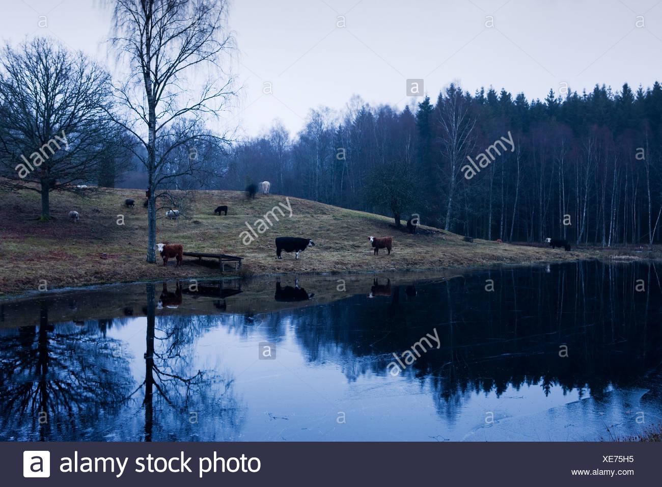 Skandinavien, Schweden, Skane, Ansicht von Kühen See Stockbild