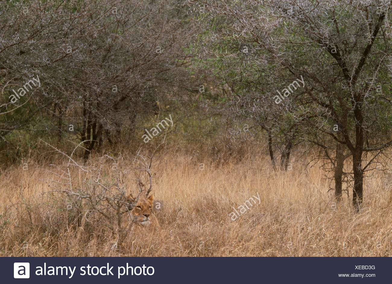 Afrikanischer Löwe, Tembuvate Preserve, Südafrika Stockbild