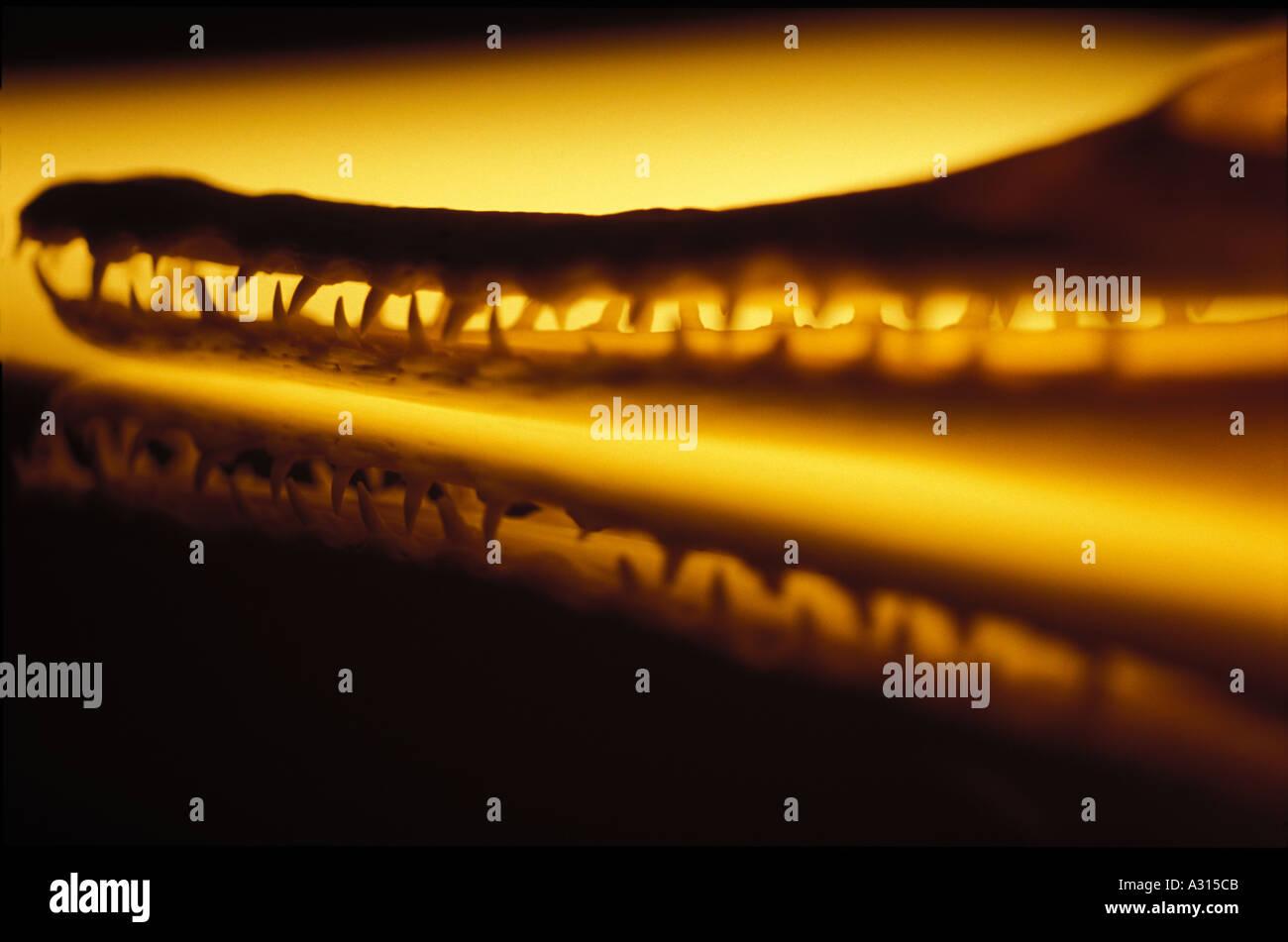 Mandíbulas de cocodrilo 0038 Imagen De Stock