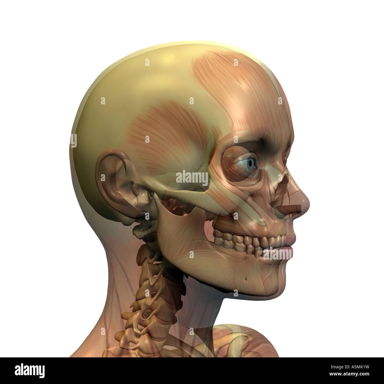 Contemporáneo Anatomía Cabeza De Pavo Foto - Imágenes de Anatomía ...