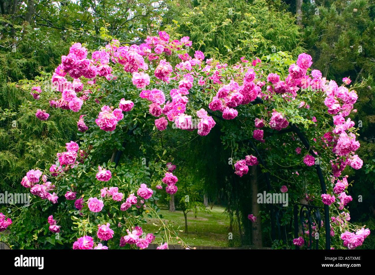 Rosas rosas escalar encima de marco de hierro en un jardín inglés ...