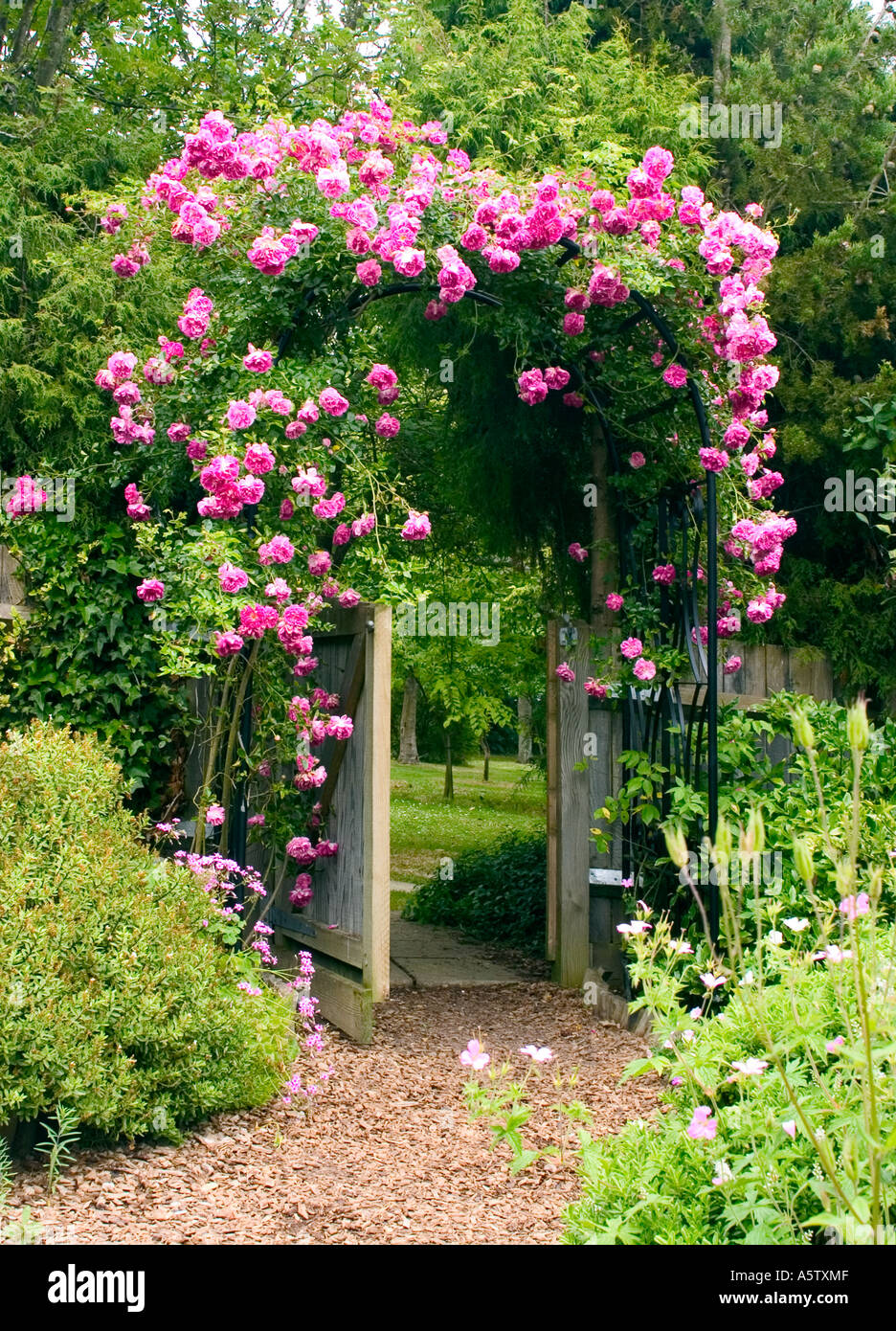 Rosas rosas escalar encima de marco de hierro cenador en un jardín ...